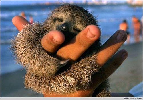 Beach Sloth Original